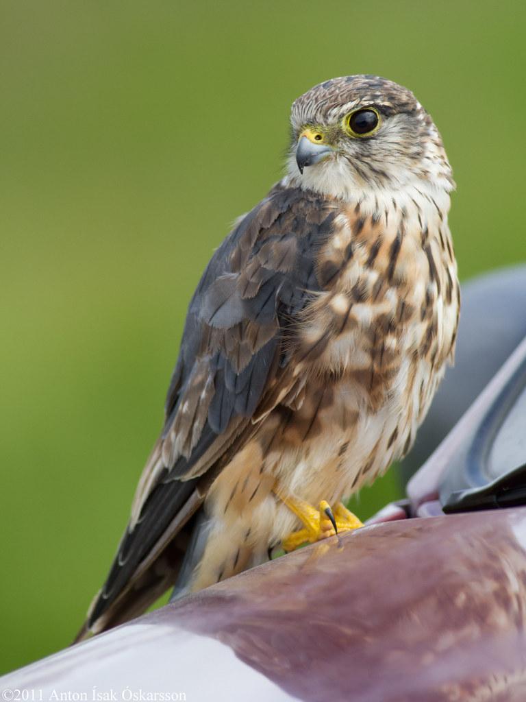 Smyrill / Merlin / Falco columbarius