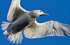 California Gull (Davor Desancic) Tags: california birds canon gull mallard bayara