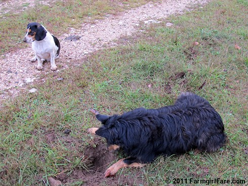 Bear on the mole patrol with bored beagle and sheep backup 2 FarmgirlFare.com