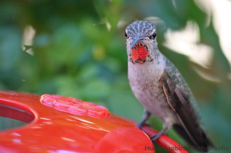 Allen's Anna's Hybrid Hummingbird100811-5