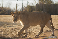 Lions in the Lion Park (Johannesburg, South Africa) (NativePaul) Tags: africa animals southafrica wildlife lion lions lioness johannesburg lionpark