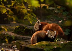 little red panda (Blitzknips) Tags: animal mammal zoo wildlife redpanda katzenbär tierparkberlin naturesfinest roterpanda impressedbeauty mygearandme mygearandmepremium mygearandmebronze mygearandmesilver mygearandmegold mygearandmeplatinum