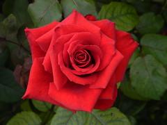 Rosa Pride of England (Francis Ackerley) Tags: redrose redroses prideofengland francisackerley rosaprideofengland roseprideofengland harencore