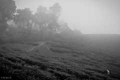 morning walk through the tea estate (stalin.sm) Tags: mist kerala wayanad mistymorning vythri padinjarathara