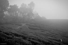 morning walk through the tea estate (stalin.sm) Tags: mist kerala wayanad mistymorning vythri padinjarathara