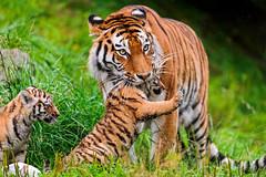 Elena grabbing a cub (Tambako the Jaguar) Tags: wild baby grass cat neck zoo cub switzerland big nikon tiger small daughter young mother zrich impressive lifting d700