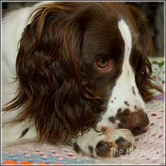 Feeling sleepy (Simon Bone Photography) Tags: dog bitch spaniel springer springerspaniel bella k9 englishspringerspaniel canon420ex liverandwhite stofendiffuser canon1740mmlf4 wwwthehidawaycouk canoneos7d wwwthehidwaycouk