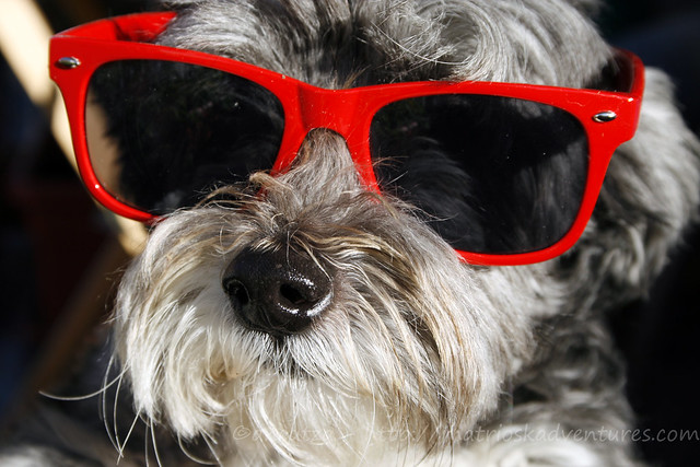 photo funny dog with sunglasses