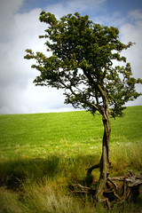 TREE IN COLOUR (thegrantyboy) Tags: uk blue sky tree green grass leaves landscape scotland britain calm