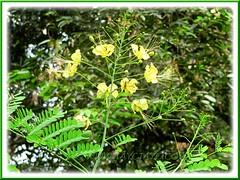 Caesalpinia pulcherrima 'Phoenix' (Dwarf Poinciana, Peacock flower, Pride of Barbados, Mexican Bird of Paradise)