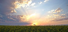 Sunset over the Canola 2 (John N Hutchins) Tags: sunset sun tree ngc barossa canola rapeseed firedoc02