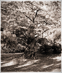 Dreams of Trees (wolfnowl) Tags: autumn trees blackandwhite panorama tree grass october bc britishcolumbia branches victoria vancouverisland trunk twisted hdr beaconhillpark 2011 dawnredwood metasequoiaglyptostroboides 9images sunlightbw