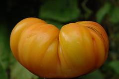 a tomato (postbear) Tags: food fruits vegetables yellow fruit tomato farmers farm tomatoes vegetable heirloom farms local farmer stephenharperishumangarbage stephenharperisanasshole allconservativesarefilth destroyallconservatives