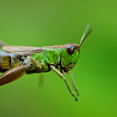 Entomology (Lumase) Tags: macro green insect square locust closer supershot greenongreen