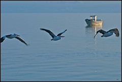 Pelican Fly (Opiesse) Tags: island fly australian australia pelican kangaroo ops kingscote pellicani borderfx opiesse