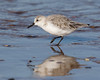 Another Sanderling (Andrew Haynes Wildlife Images) Tags: nature wildlife norfolk sanderling titchwell rspb wader ajh2008