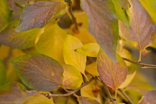 Autumn Lilac