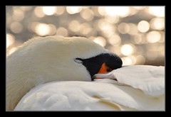 Sleepy Swan bokeh..... (Levels Nature) Tags: uk portrait england bird nature swan bokeh sleep somerset sleepy mute muteswan chewvalleylake topshots abigfave natureselegantshots saariysqualitypictures