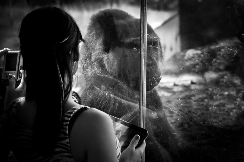 Gorilla_2