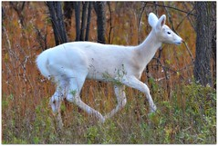 White White-tailed Deer  - fawn - nature - wil...
