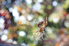 Fall feast (900hp) Tags: chicago fall leaves insect spider maple eating web arachnid orb carnivore furrow
