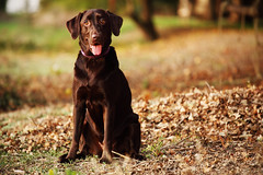 Autumn is Just Around the Corner... (anthonyhelton.com) Tags: dogs lab labrador chocolate retriever mansbestfriend canon70200 5dii