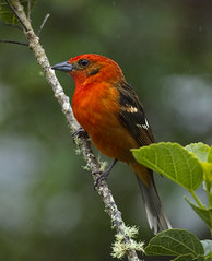 Male Flame-colored Tanager (PictureOnTheWall) Tags: costarica savegremountainlodge flamecoloredtanager pirangabidentata explored sangerardodedota avianexcellence