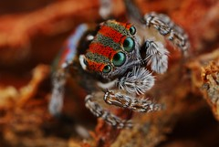 Maratus volans 2 (FISHNROBO) Tags: light red colour macro green nature closeup insect newcastle fun spider bush close natural native wildlife australia cannon robo salticidae fishnrobo
