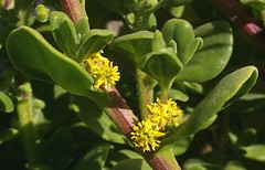Tetragonia decumbens, North Mole, Fremantle, WA, 04/10/11 (Russell Cumming) Tags: plant weed perth fremantle westernaustralia aizoaceae tetragonia northmole tetragoniadecumbens
