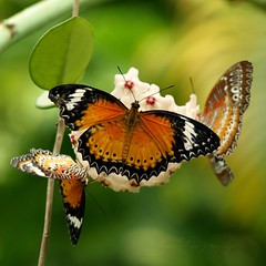 Bundle of Joys... (kimsin801(catching up)) Tags: butterfly ngc butterflies npc butterflyfarm leopardlacewing hoyaflowers penangbutterflyfarm kimsin801 chethosiacyane