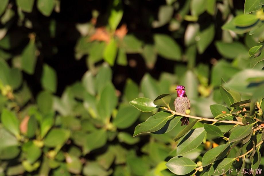 Anna's Hummingbird 103111