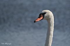 Mute Swan (Shots by VB) Tags: bird swan nj capemay pp mws muteswan thepca vaibhavbhosalecom vbsphotography