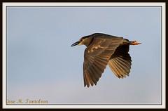 """2-El vuelo de una bruja!! El Cigala se reira cuando vea esta serie, pues esta ave tiene tantos nombres en Chile que ya yo no sabia como llamarla y no se porque la bautice como """"Guanairo""""jeje. Huairavo-Bruja-Nycticorax nycticorax-Black -crowned night Heron (Cimarrn Mayor !!!4,000.000 DE VISITAS, GRACIAS!!) Tags: chile naturaleza bird fauna ave libre oiseaux montaas panta llico lagunatorca guaco blackcrownednightheron dominicano septimaregion nycticoraxnicticorax huaco garzanocturnacoroninegra garzabruja canoneos7d canon7d libertee huadra cimarronmayor telefoto700 chile23 ordenpelecaniformes fliaardeidae reycongord huairavochile gaudachiloe"""