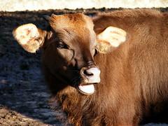 Gaur Calf (Robbie Phelan) Tags: zoo calf whipsnade gaur