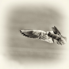 seagull (see the forward) (QL-ART) Tags: bird art nature animals blackwhite seagull squart qlart