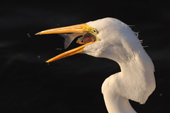 Meal Time! [Explored best position #206] (bmse) Tags: canon chica eating great 7d bolsa egret 56 salah 400mm bmse baazizi fishsardine