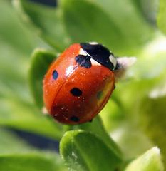 Mrs Ladybug (AlexanderArntsen now over 400.000 views) Tags: macro closeup bug eos top photographers ladybug nyckelpiga brigettes 1000d alexanderarntsen photobyarntsen
