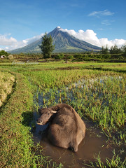 Inevitable Head Turner of Albay (SweetCaroline) Tags: water farm swamp gb pk ricefield zuiko indio mtmayon carabao legazpi albay mayonvolcano 1442mm e520 olympuses