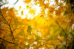 Glorious Days (moaan) Tags: life leica autumn color yellow digital 50mm october glow dof bokeh f10 momiji japanesemaple utata aomori glowing noctilux hue tinted  m9 2011 tinged yagen explored autumnaltints inlife leicam9 leicanoctiliux50mmf10  gettyimagesjapanq4