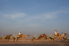 Camels X-ing, Liwa, UAE (maja.g) Tags: road sunset crossing desert united racing emirates camel zayed arab abu dhabi camels deva jamal riders madinat liwa