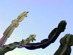 cactus dawn (dmixo6) Tags: garden succulent jardin dugg dmixo6