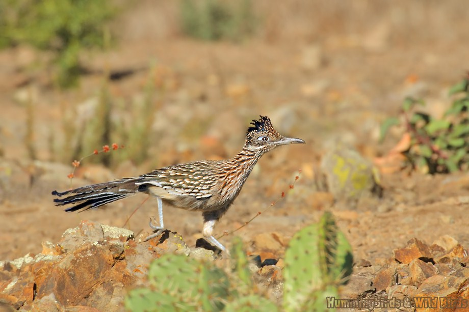 Greater Roadrunner 110811-2