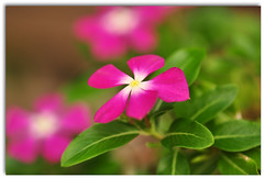 Catharanthus roseus (anakayer - [temporarily off...!] ) Tags: flower nature nikon d90 roseus catharanthus anakayer