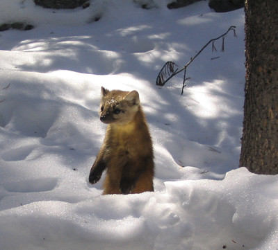 A marten in the snow, by Nathan Stone, US Forest Service Rocky Mountain Research Station