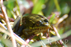 Prince of the Puddle (WanderWorks) Tags: canada green eye newfoundland labrador amphibian frog sapo rana frosch grenouille kikker palaka amphibie  froskur       ch  dsc3893nc1g