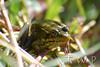 Prince of the Puddle (WanderWorks) Tags: canada green eye newfoundland labrador amphibian frog sapo rana frosch grenouille kikker palaka amphibie カエル froskur 青蛙 개구리 лягушка צפרדע กบ ضفدع ếch βάτραχοσ dsc3893nc1g मेंढक