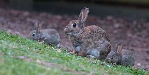 Three rabbits by dicktay2000, on Flickr