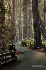 An Ancient Redwood Forest (Darvin Atkeson) Tags: sanfrancisco trees storm rain forest fence rainforest path marin canyon hike trail muirwoods redwoods johnmuir pathway nationalmonument tallest darvin atkeson darv liquidmoonlightcom