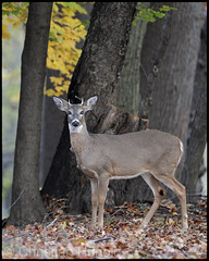 cataracts! (Christian Hunold) Tags: mammal pennsylvania deer buck whitetail glaucoma whitetaileddeer valleyforge yearling cataracts blinddeer christianhunold