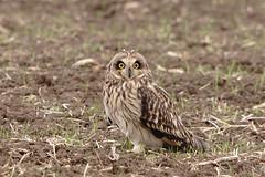Seo-1 (mikasuncle) Tags: short owl eared